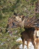 Deer in Colorado hills eatting shrubs and tight shot with tree poster