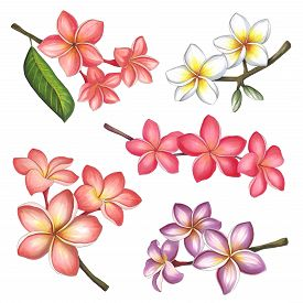 Plumeria Flowers On A White Background. Sketch Done In Alcohol Markers. You Can Use For Greeting Car