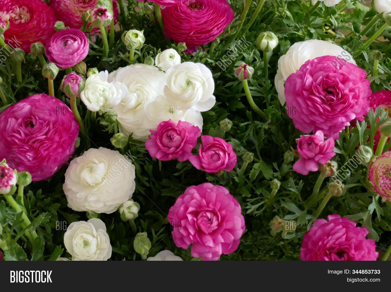 Ranunculus Flower Image Photo Free Trial Bigstock