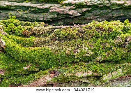 Logs For Firewood Covered With Moss. Close-up Of Tree Bark. Stack Of Firewood. Woodpile Of Chopped L