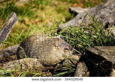 Ground Hog, Or Woodchuck, Sleeping In The Warmth Of The Day In North Carolina