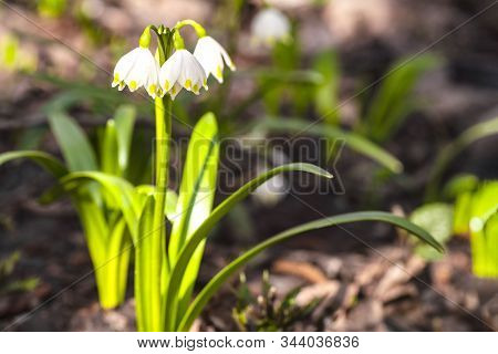 Snowdrop Spring Flowers.delicate Snowdrop Flower Is One Of The Spring Symbols .the First Early Snowd