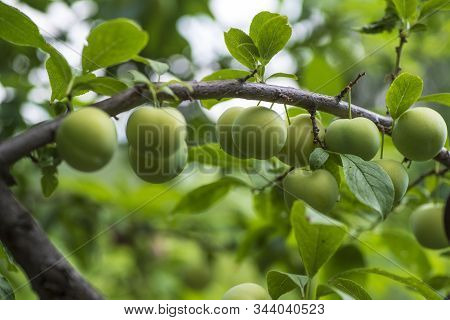 Green Cherry Plum Closeup.cherry Plum On A Branch In The Garden.fruit Garden With Lots Of Large, Jui