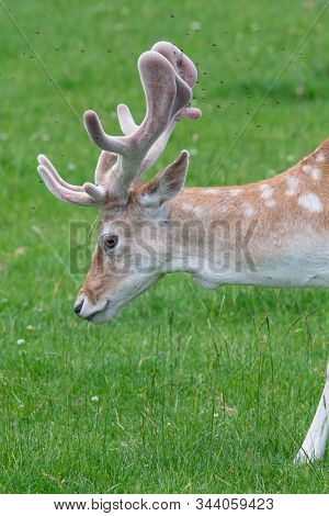 Head Shot Of A Male Fallow Deer (dama Dama)
