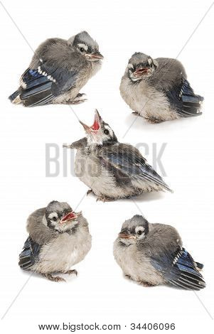Five Baby Robin Image Composite