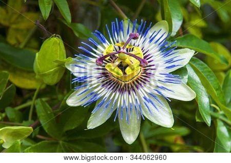 Passiflora Caerulea, The Blue Passionflower, Bluecrown Passionflower Or Common Passion Flower, Japan