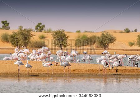 Flamingos Paddling In The Muddy Waters Of A Muddy Lagoon At An Oasis Al Qudra Lakes In The Desert In