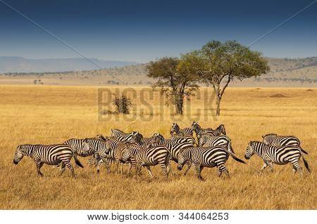Herd Of Plains Zebras In The Serengeti National Park, Tanzania. Plains Zebra (equus Quagga, Formerly