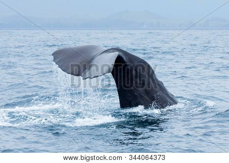Sperm Whale (physeter Macrocephalus) Tail Fluke Above Water During Dive In Kaikoura, New Zealand.