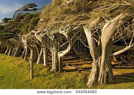 Windswept Trees Near Slope Point The Southernmost Point Of The South Island, The Catlins New Zealand