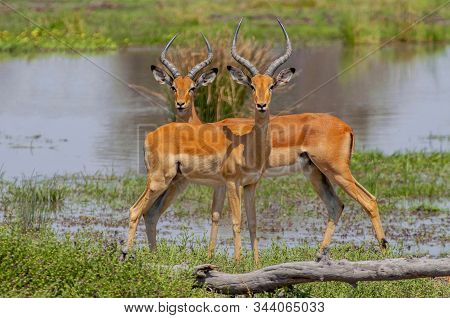 Close View Of A Two Male Impalas (aepyceros Melampus) With Characteristic Lyre Shaped Horns, Moremi