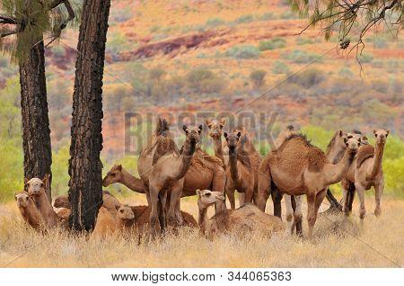 Australian Feral Camels, Mostly Dromedaries (camelus Dromedarius) Imported Into Australia From Briti