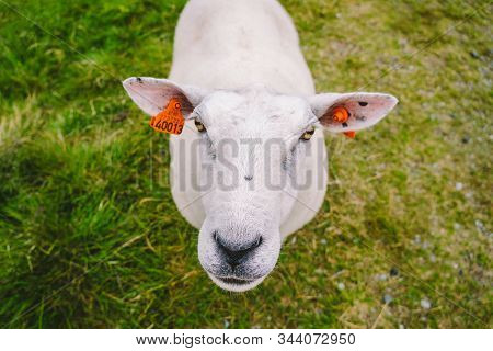 Sheeps On Mountain Farm On Cloudy Day. Norwegian Landscape With Sheep Grazing In Valley. Sheep On Mo