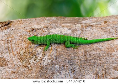 Beautiful Green Gecko Phelsuma, Phelsuma Madagascariensis, Basking In The Sun, Farankaraina Tropical