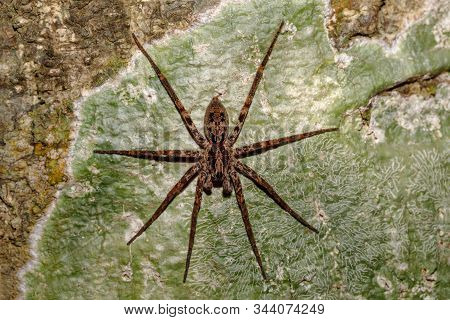 Huntsman Spider On Tree Trunk. Family Sparassidae, Formerly Heteropodidae. Nosy Mangabe National Par