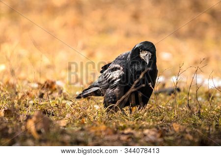 Rook On Earth Looking For Food, A Sharp Exponential And Illustrative Frame Of A Bird