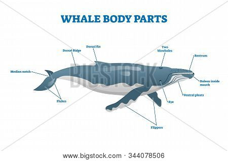 Whale Body Parts Vector Illustration. Labeled Educational Mammal Structure. Huge Underwater Creature
