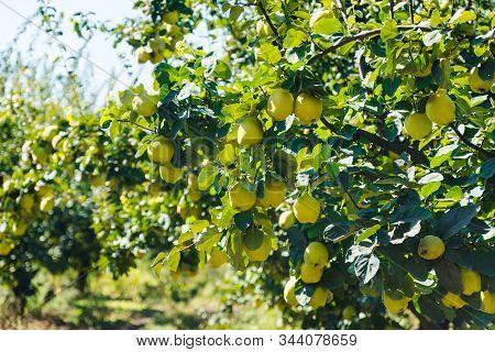 Apple Tree.harvest In Turkey.autumn Apple Variety.green Garden. Farm In Selcuk,turkey.apple Orchard.