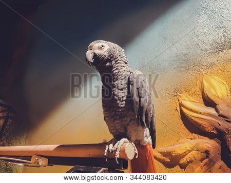 The Grey Parrot With Red Tail, Also Known As The Congo Grey Parrot Or African Grey Parrot.