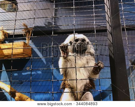 A Cotton Top Tamarin In Closeup, Tropical Critically Endangered Monkey From Colombia In The Cage.