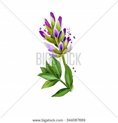 Yashtimadhu - Glycyrrhiza Glabra Ayurvedic Herb, Blossom. Digital Art Illustration With Text Isolate