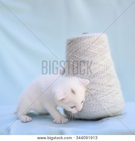 Lovable And Fluffy White Kitten Plays With A Ball Of Yarn