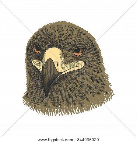 The Saker Falcon Falco Cherrug, Eagle Colorful Vector Illustration. Hand Drawn Sketch Drawing. Bird