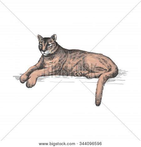 Reclining Cougar. Lying American Mountain Lion, Red Tiger, Panther Animal. Puma Predator In Zoo, Vec
