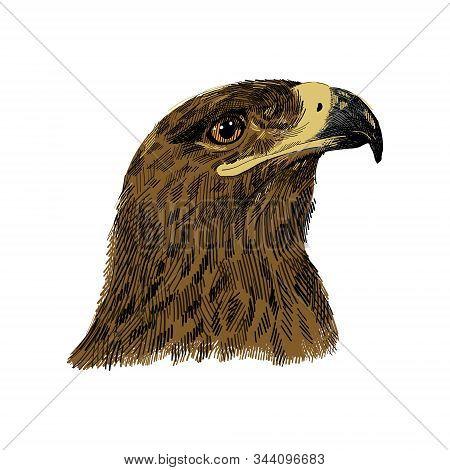 The Saker Falcon Falco Cherrug Colorful Vector Illustration. Eagle Hand Drawn Sketch Drawing. Bird F