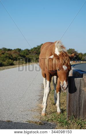 Young, Wild Horse Foal, Residing Happily On Assateague Island, Maryland.