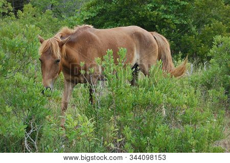 Wild Horse Wandering Through The Lush, Green Vegetation, On Assateague Island In Maryland.