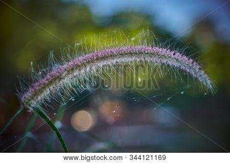 A Communist Grass Flowers In Sunlight. Communist Grass Flower In Sunlight During Sunset, Bright Shin