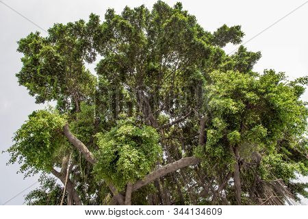 Banyan Tree (ficus Benjamina) Large And Old Grown In The Park, Kown As Weepig Fig, Benjamin Fig Or F