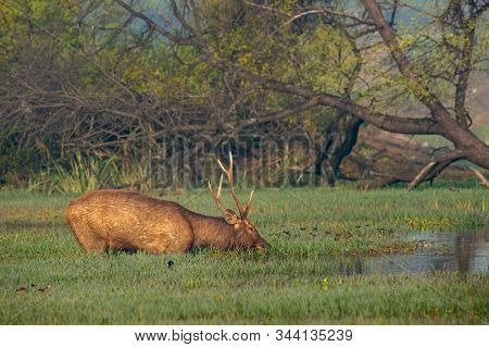 Sambar Deer Or Rusa Unicolor Close Up In Beautiful Winter Light And Colorful Background At Wetlands