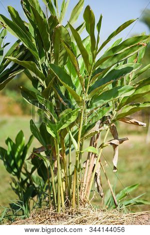 Fresh Galangal Tree Growing In The Garden For Food And Herb In Thai / Galangal Plant Tree