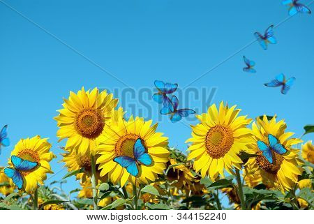 Blooming Sunflower Against The Blue Sky.  Copy Spaces. Beautiful Blue Butterflies Flying Among The F