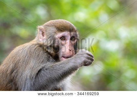 Portrait Of A Rhesus Macaque Monkey In Guilin, Guangxi Province, China