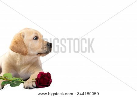 Cute Dog Holds Red Rose And Declares Its Love Somebody. Valentine Labrador Retriever Puppy.