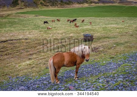 Iceland Horse On A Meadow In Eastern Iceland