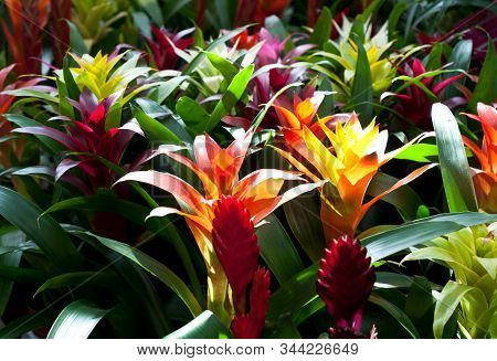 Red And Orange Flowers Of Guzmania Bromelia With Green Leaves. Multicolor Flowers Guzmania Monostach