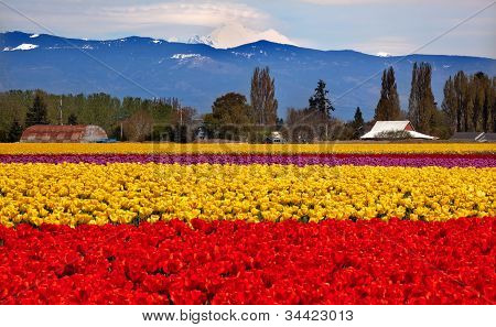Red Yellow Tulips Flowers Mt Baker Skagit Valley Washington State