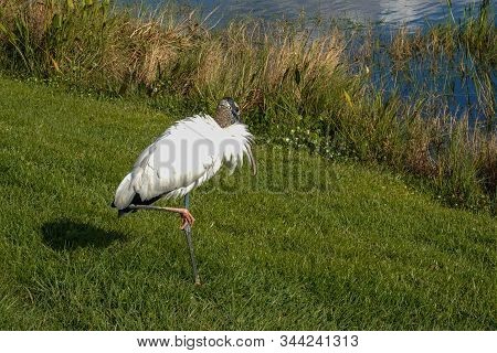 A Wood Stork Sitting Alongside A Pond Is A Large American Wading Bird In The Stork Family Ciconiidae