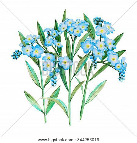 Watercolor Hand Drawn Forget-me-not Myosotis Flower Illustration. Three Twigs With Many Shallow Blue