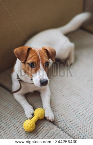 Purebred Jack Russell Terrier Dog Lying At Home On The Couch With Toy. Happy Dog Is Resting In Livin