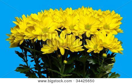 Isolate Chrysanthemum flowers on blue background