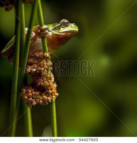 tree frog crawling in vegetation at night, European treefrog Hyla arborea, an endangered amphibian species climbing, protected green animal on list of nature and wildlife conservation