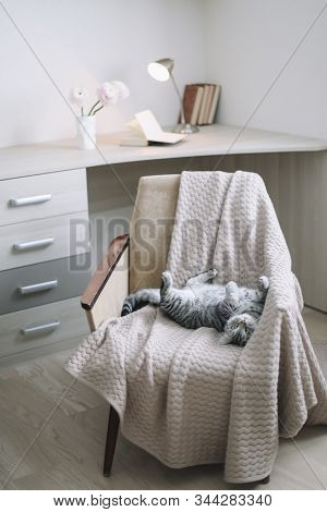 Cute Scottish Straight Cat Llying On Armchair. Home Pet Cute Kitten Cat Lying In The Chair With Funn