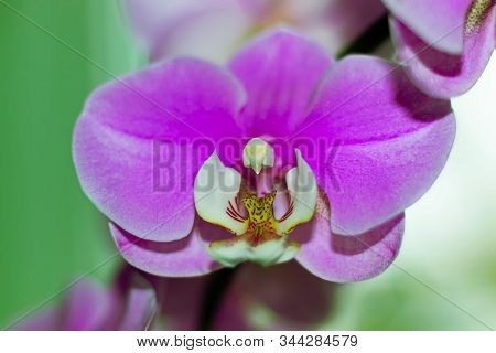 Purple Flower Phalaenopsis Orchid . Commonly Known As The Moon Orchid Or Moth Orchid Butterfly Orchi