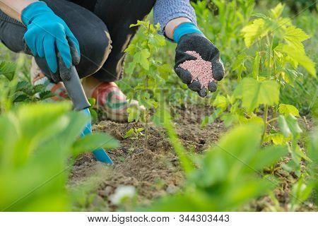 Granules Fertilizer In Hands Of Woman Gardener. Spring Work In Garden, Fertilizing Plants, Decorativ
