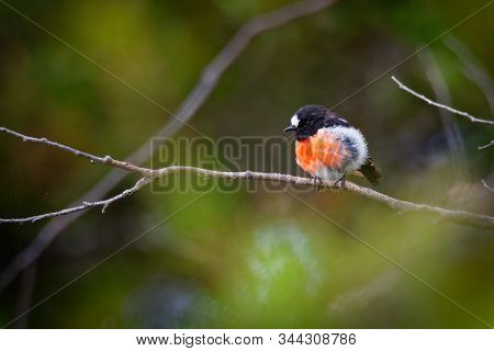 Scarlet Robin - Petroica Boodang Common Red-breasted Australasian Robin In The Passerine Bird Genus
